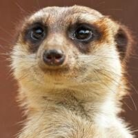 option for avatar: meerkat