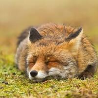 Option for avatar: Fox
